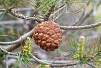 Stone pine (Pinus pinea) is a coniferous tree native to Southern Europe. Its pine nuts are edible. Cone and leaves detail.