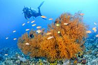 Black coral, Antipatharia sp. , and scuba diver, Verde Island, Batangas, Philippines, Pacific.
