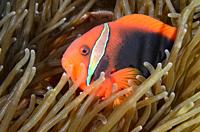 Tomato anemonefish, Amphiprion frenatus, Verde Island, Batangas, Philippines, Pacific.