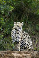 Adult Jaguar (Panthera onca) sitting on the edge of a river, Pantanal, Mato Grosso, Brazil.