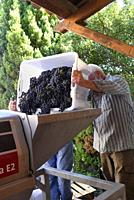 Loading freshly harvest merlot grapes into a stem removing machine.