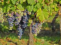 grapes in a vineyard ready to harvest, Lot-et-Garonne Department, Nouvelle-Aquitaine, France.