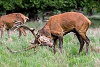 Ruttish red deer (Cervus elaphus) stag / male rubbing huge antlers in the grass during the rut in autumn / fall