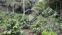 Colombian Coffee plantation with green coffee beans