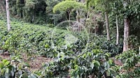 Colombian Coffee plantation field with green coffee beans