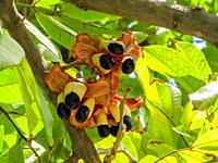 Ackee fruit tree bearing ripe ackee fruit.