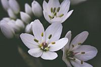 Small white delicate Allium flowers.