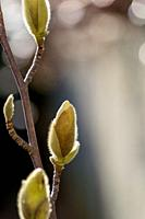Magnolia buds growing in the late winter sunshine.