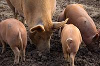 amworth Pigs foraging in the mud on a farm in Cornwall.