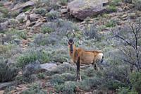Tsessebe, Karoo National Park, South Africa.