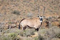 Gemsbok in Karoo National Park, South Africa.