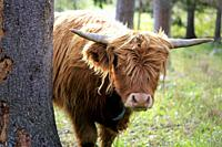 Young, timid and curious Highland bull peeks behind a tree.