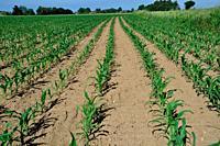 Corn field in Spring.