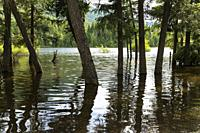 Canada, BC, Salmon Arm. Skimikin Lake. Forest trees covered in water, due to flooding.