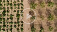 Aerial view of vineyards and almond trees. Almansa. Albacete province
