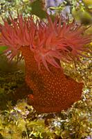 Beadlet Anemone (Actinia equina). Eastern Atlantic. Galicia. Spain. Europe.