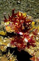 Red seaweed. Holmes's Rose Weed (Rhodymenia holmesii). Eastern Atlantic. Galicia. Spain. Europe.