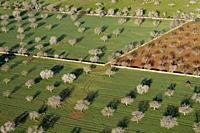 Aerial view of almond trees in the field, Mallorca lands, Balearic Island, Spain.