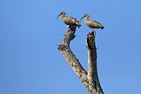 Plumbeous ibis (Theristicus caerulescens), two adults standing on tree, Rio Claro, Pantanal, Mato Grosso, Brazil.