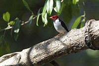 Yellow-billed Cardinal (Paroaria capitata), adult perched on tree, Pantanal, Mato Grosso, Brazil.