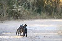 Crab-eating fox (Cerdocyon thous), two adults, mutual grooming, Pantanal, Mato Grosso, Brazil.
