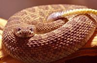 Western Rattlesnake (Croatalus oreganus) New Mexico.