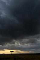 Dramatic dark storm clouds over a tree in the grasslands of the Masai Mara National Reserve in Kenya.