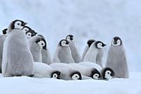 Emperor penguins, Aptenodytes forsteri, Group of Chicks, Snow Hill Island, Antartic Peninsula, Antarctica.