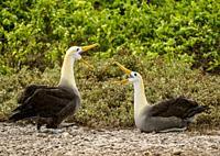 Waved albatross (Phoebastria irrorata), Punta Suarez, Espanola or Hood Island, Galapagos, Ecuador.