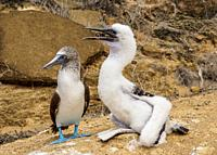 Blue-footed boobies (Sula nebouxii), juvenile and adult, Punta Pitt, San Cristobal or Chatham Island, Galapagos, Ecuador.