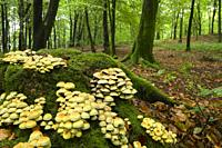 A cluster of Sulphur Tuft (Hypholoma fasciculare) mushrooms on an old tree stump at Beacon Hill Wood in the Mendip Hills, Somerset England. Also known...