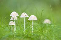 A troop of Yellowleg Bonnet (Mycena epipterygia) musrooms in Stockhill Wood, Somerset, England.