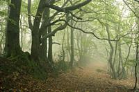 A misty broadleaf woodland in autumn at Dowsborough in the Quantock Hills, Somerset, England.
