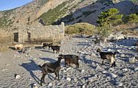 Cricris or wild goats, Crete, Greece