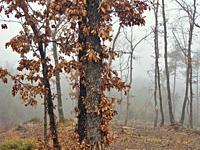 Winter oak tree (Quercus robur) on a foggy day. Lluçanès region, Barcelona province, Catalonia, Spain.