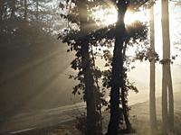 Sun rays through oak trees on a foggy winter morning. Lluçanès region, Barcelona province, Catalonia, Spain.
