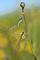 Dragonflies mating, Spain