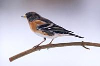 A male Brambling (Fringilla montifringilla) feeding in freezing conditions in a Norfolk garden.