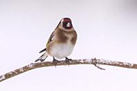A Goldfinch (Carduelis carduelis) in freezing conditions in a Norfolk garden.