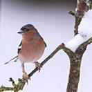 A Male Chaffinch (Fringilla coelebs) in freezing conditions in a Norfolk garden.