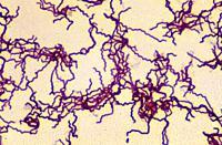 Treponema pallidum bacterium.