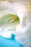 White Gladioli.
