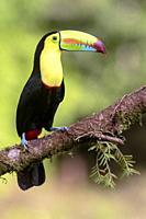 Keel-billed Toucan - La Laguna del Lagarto Lodge - Boca Tapada, San Carlos, Costa Rica.