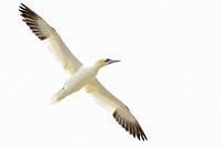 Northern Gannet (Morus bassanus) flying against white sky, Great Saltee, Saltee Islands, Ireland.
