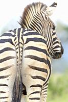 Plains Zebra (equus quagga) seen from behind, Addo Elephant National Park, Eastern Cape Province, South Africa.