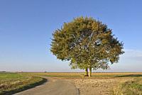 deux chenes isoles sur le bord d'une route de campagne, departement d'Eure-et-Loir, region Centre-Val de Loire, France, Europe/two oak trees on the ed...