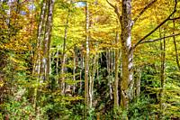 Beech forest of the Grevolosa, with more than 300 years of life. It contains trees 1 meter in diameter and 40 meters high. Lovely in autumn.