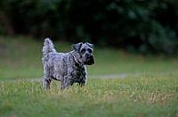 Schnauzer-Canis lupus familiaris.