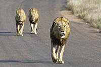 African lions (Panthera leo), three adult males walking on a tarred road, Kruger National Park, South Africa, Africa.