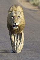 African lion (Panthera leo), adult male, blind of an eye, walking on a tarred road, Kruger National Park, South Africa, Africa.